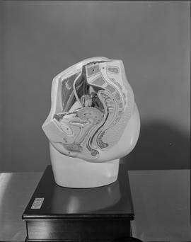 Radiology, X-ray; anatomical model of a human pelvic area (side view)