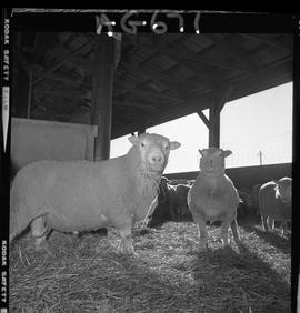B.C. Vocational School image of a ram and ewes at Mile Zero Farm in Dawson Creek, BC.