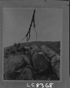 Logging, 1968; copy negative; picture of a man kneeling on a large log and attaching lifting cabl...