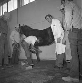 BC Vocational School Farrier Training ; a student practicing hoof trimming while instructor and s...