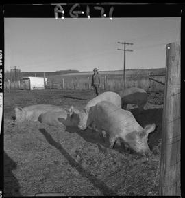 B.C. Vocational School image of pigs at Mile Zero Farm in Dawson Creek, BC.