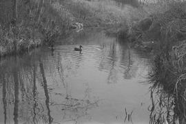Two ducks in Guichon Creek