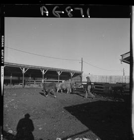 BC Vocational School image of cattle in a corral at Mile Zero Farm in Dawson Creek, BC [2 of 2 ph...