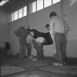 BC Vocational School Farrier Training ; a student practicing hoof trimming while other students w...