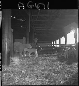 B.C. Vocational School image of sheep at Mile Zero Farm in Dawson Creek, BC.