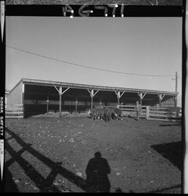 BC Vocational School image of cattle in a corral at Mile Zero Farm in Dawson Creek, BC [1 of 2 ph...