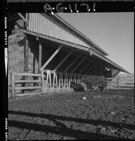 B.C. Vocational School image of a bull in a corral beside a barn at Mile Zero Farm in Dawson Cree...
