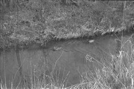 Two ducks swimming in Guichon Creek [1 of 2]