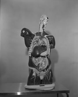 Radiology, X-ray; anatomical model of a human torso and head displaying internal organs and brain