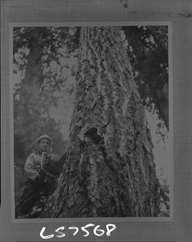 Logging, 1968; copy negative; picture of a man cutting a tree trunk with a chainsaw