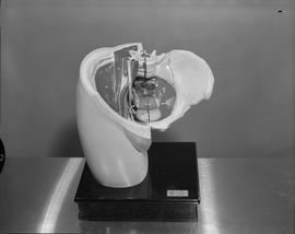 Radiology, X-ray; anatomical model of a human pelvic area (front view)