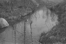Two ducks swimming in Guichon Creek [2 of 2]