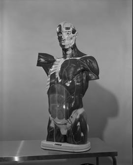 Radiology, X-ray; anatomical model of a human torso and head displaying muscles